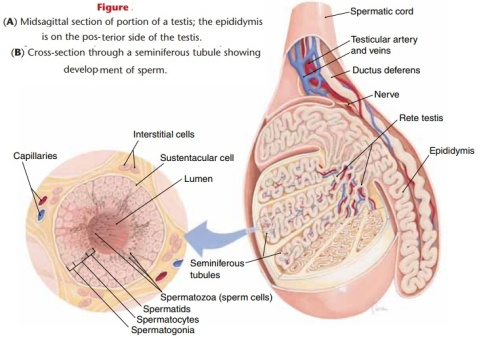 article-Testes---Anatomy-and-IWZ