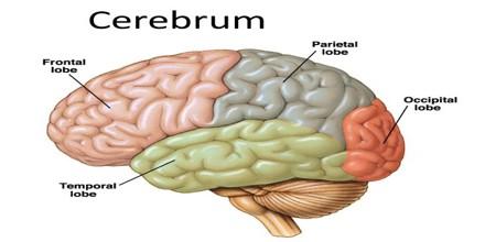 Cerebrum0